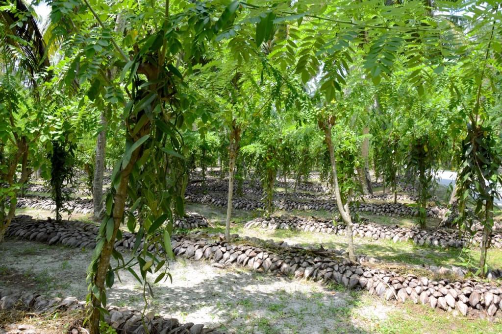 плантации ванили