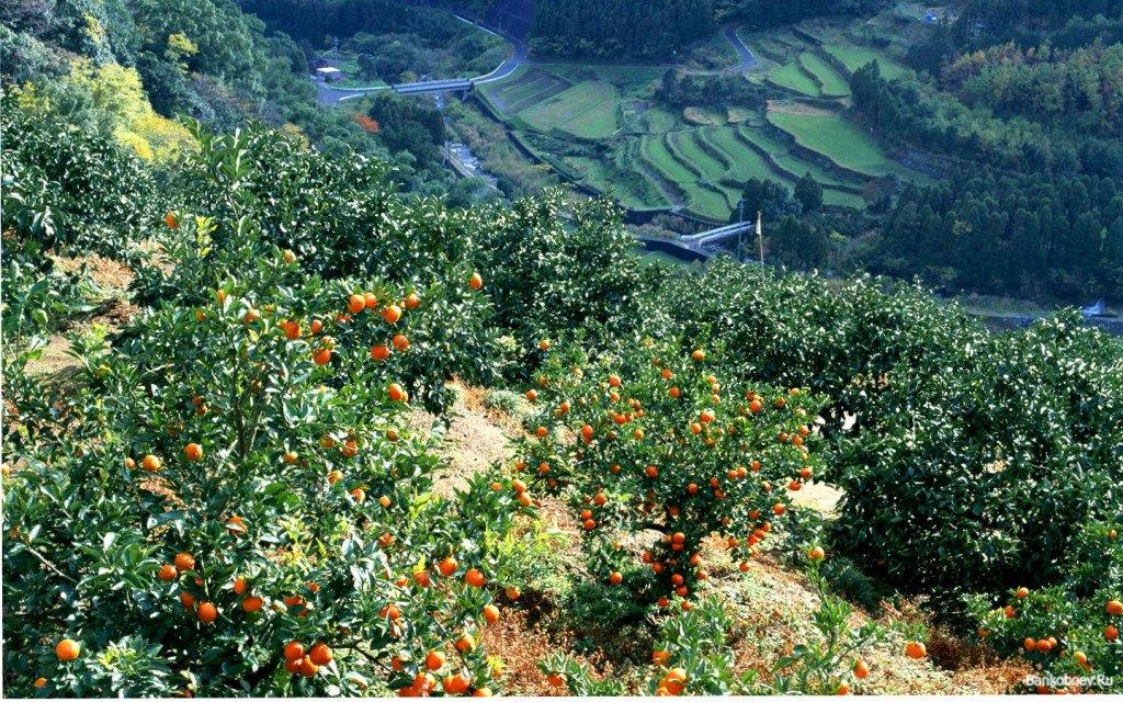 Мандариновые поля Сицилии