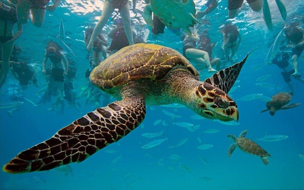 черепаха Карета-Карета