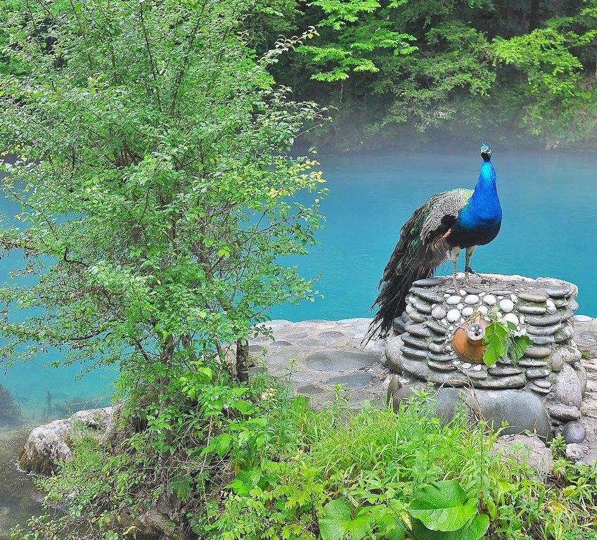 Павлин на Голубом озере