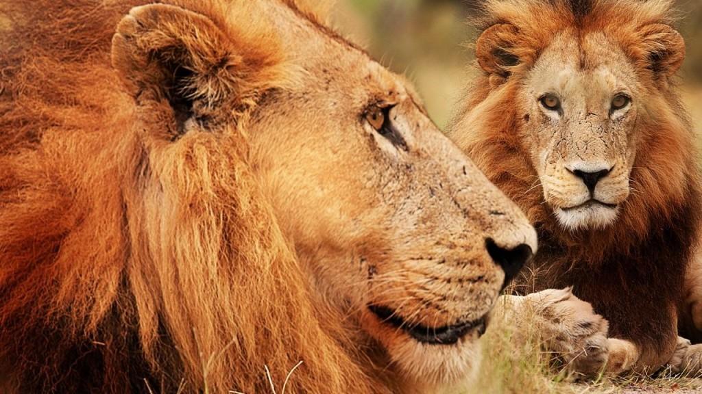 братство львов