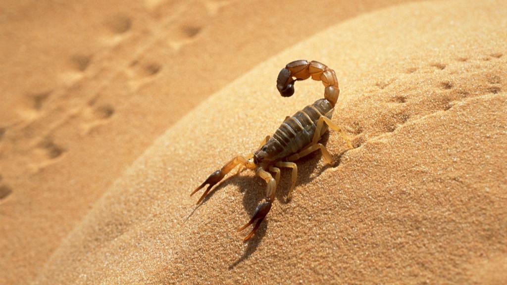 Алжир skorpion