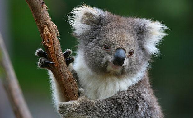Мельбурнский зоопарк. Коала