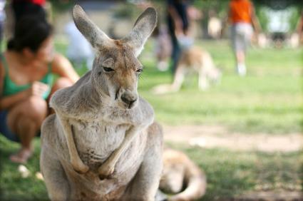 Мельбурнский зоопарк. Коала1