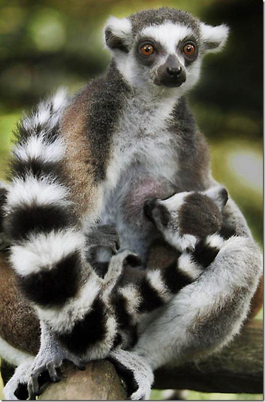 Мельбурнский зоопарк. Коала2