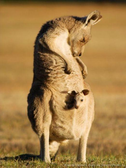 Кенгуру с детенышем, Австралия Самка кенгуру со своим детенышем, сидящим в сумке. Снимок сделан в Хенгин Рок, неподалеку от Мельбурна. Австралия.
